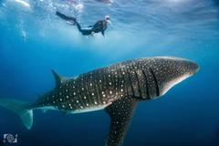 cancun whalesharks.jpg
