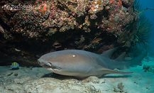 nurseshark.driftcurrentphoto.jpg