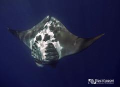 manta.whalesahrk.jpg