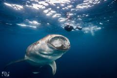 tiburon ballena foto.jpg