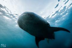 tiburon ballena.jpg