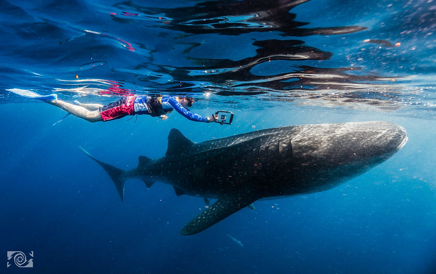 whaleshark swim.jpg