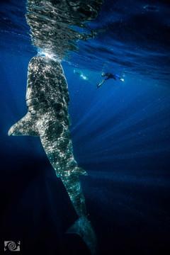 gentle giant shark.jpg