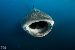 tiburon ballena cancun.jpg