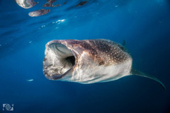 tiburon ballena snorkeling.jpg