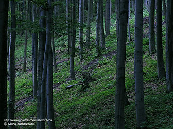 Forest of thin trees.