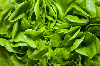 A fresh head of green lettuce