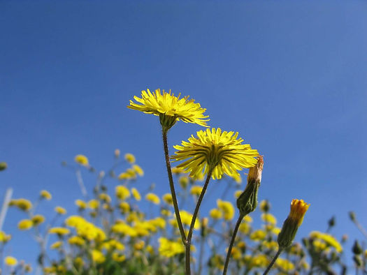 Natural lawn care & weed control strategies for dandelions and crabgrass
