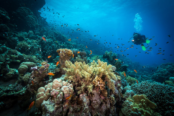 Scuba diver with coral and fish