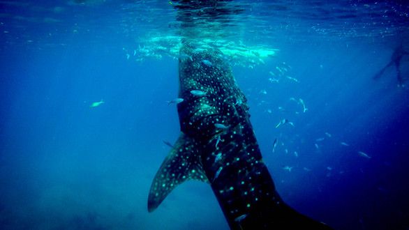 Whale swimming vertically