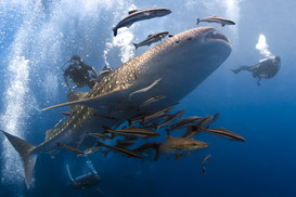 Scuba diver with whale underwater