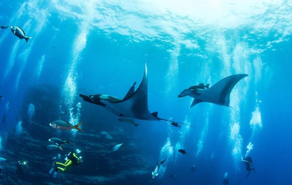 Scuba diver with stingrays