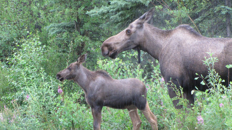 Alaskan Moose and baby in the rain (1).j