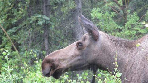 Alaskan Moose in the rain - left profile