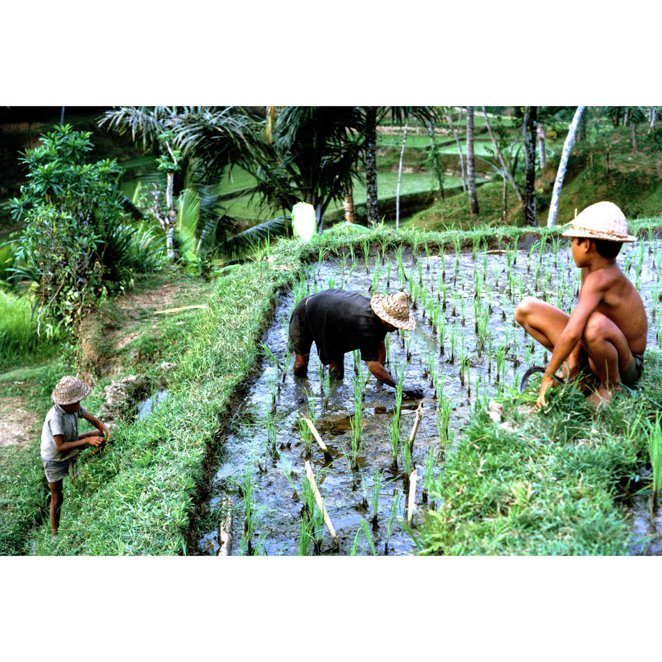 Weeding rice fields.jpg