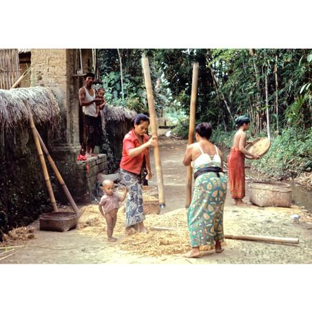 Women dehusking rice from padi stalks.jp