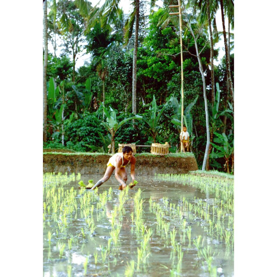 Transplanting rice seedlings.jpg