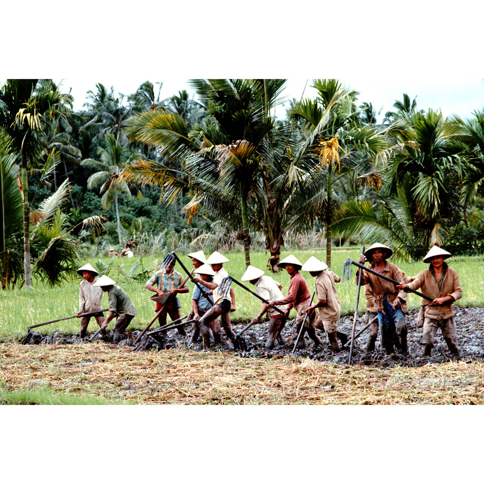 Collective hoeing of ricefields.jpg
