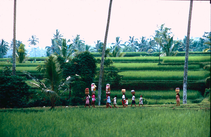 Carrying offerings through rice fields