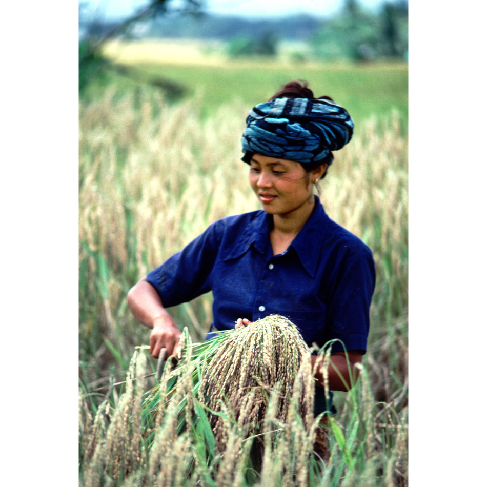 Young woman cutting rice by hand.jpg