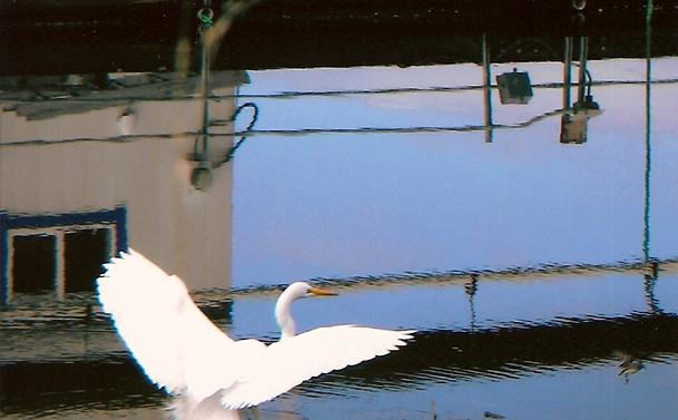 Great Egret (open wings).jpg