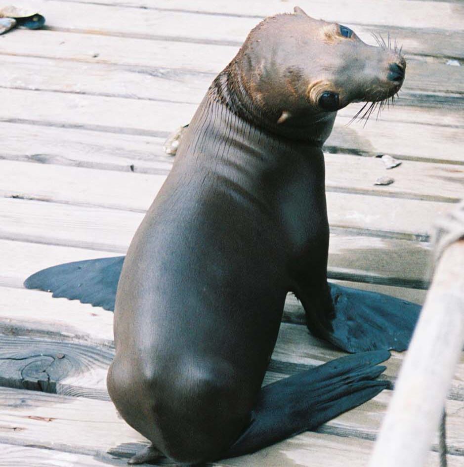 Sea Lion on dock1.jpg