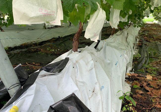 ブドウの盛土式根圏制御栽培(栃木県農業試験場 果樹研究室)