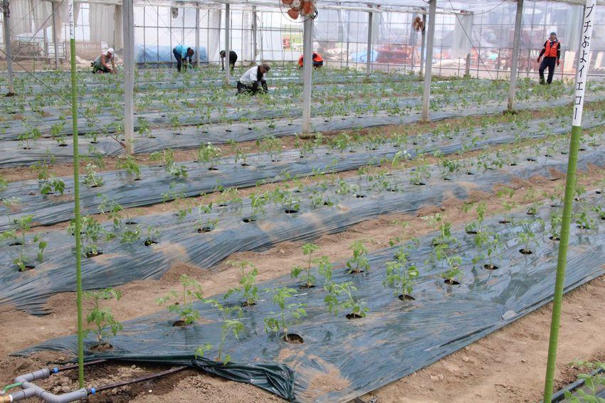 幸 満 つる郷 KDDIエボルバ 野蒜、ミニトマト圃場の様子