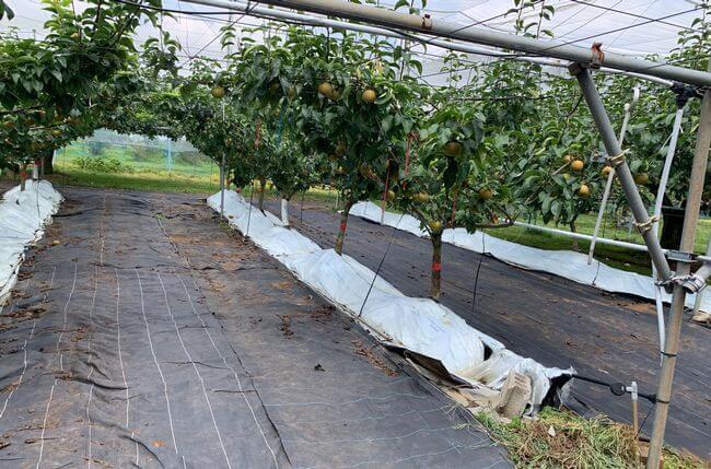ナシの根圏制御栽培(茨城県立農業大学校)