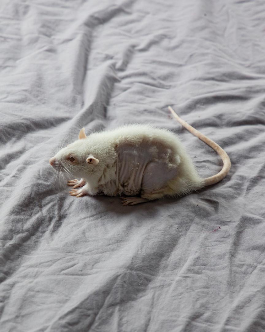 Lab Rat Surgery