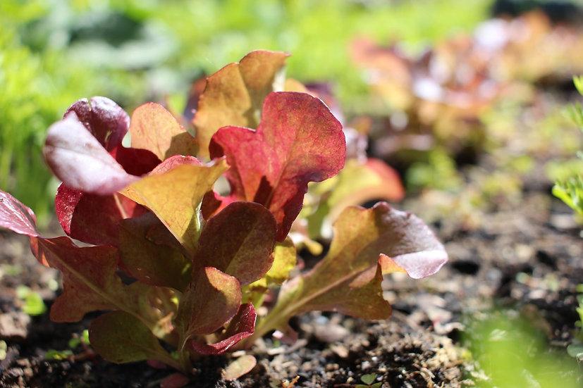Lettuce Seeds 'RED SALAD BOWL' ORGANIC