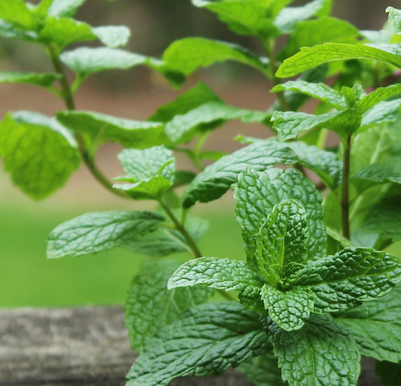 Mint Seeds Peppermint ORGANIC