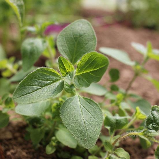 Herb seeds 'Sweet Marjoram' ORGANIC