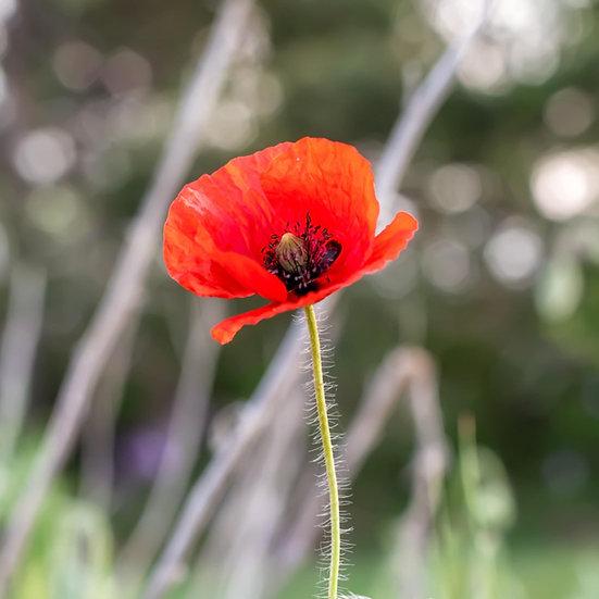 Poppy 'Papaver rhoeas' Organic Seeds