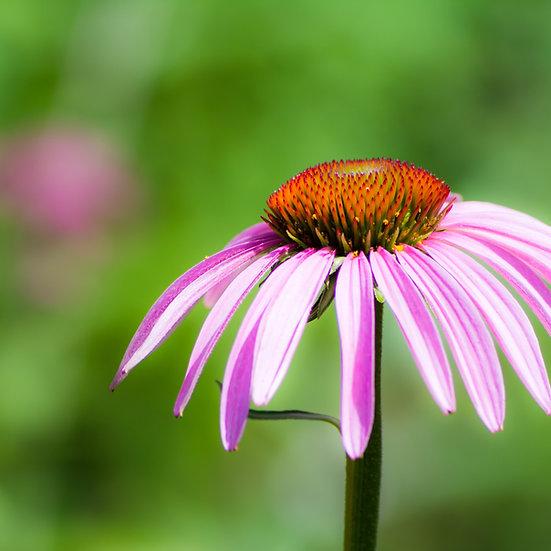Herb seeds 'Echinacea' ORGANIC