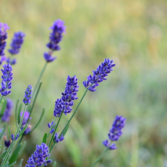 English Lavender Seeds  'Lavandula Angustifolia'  ORGANIC