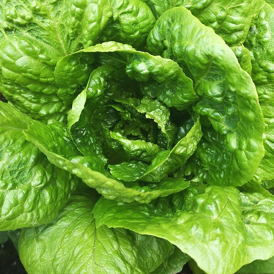 Lettuce Seeds Cos 'Parris Island' ORGANIC
