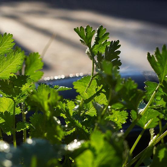 Herb seeds, Coriander 'Filtro' ORGANIC
