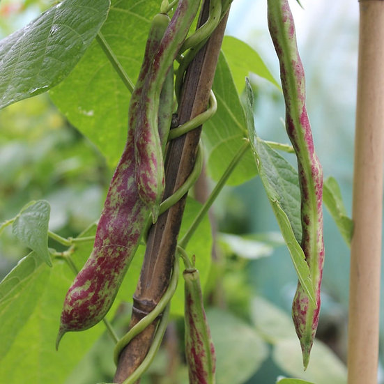 French Bean 'Borlotta' ORGANIC