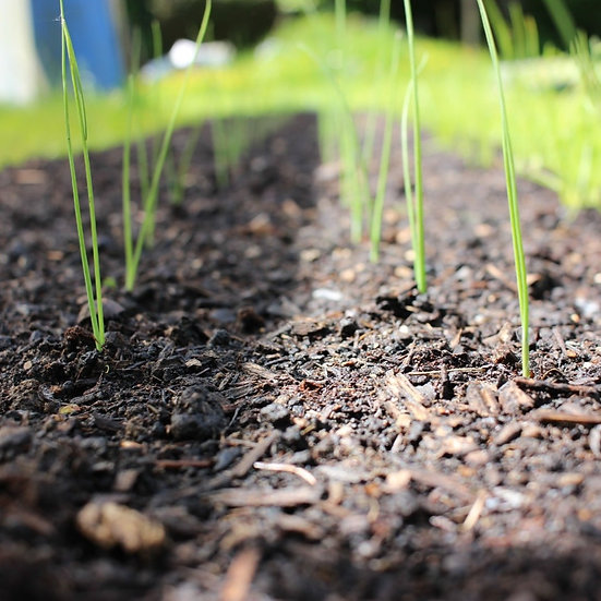 Leek seeds 'AXIMA' ORGANIC