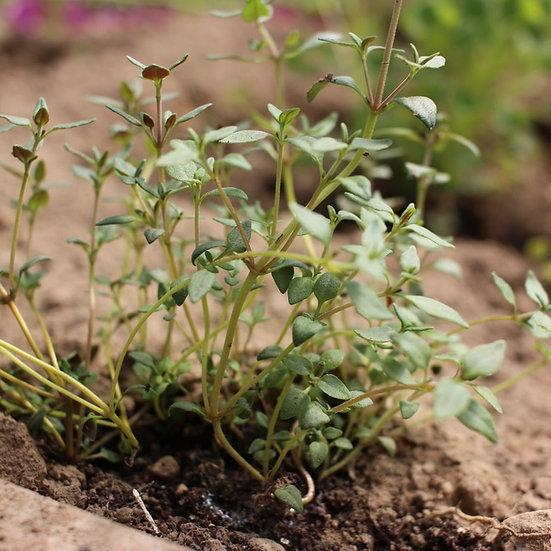Thymus Vulgaris Seeds 'THYME' ORGANIC