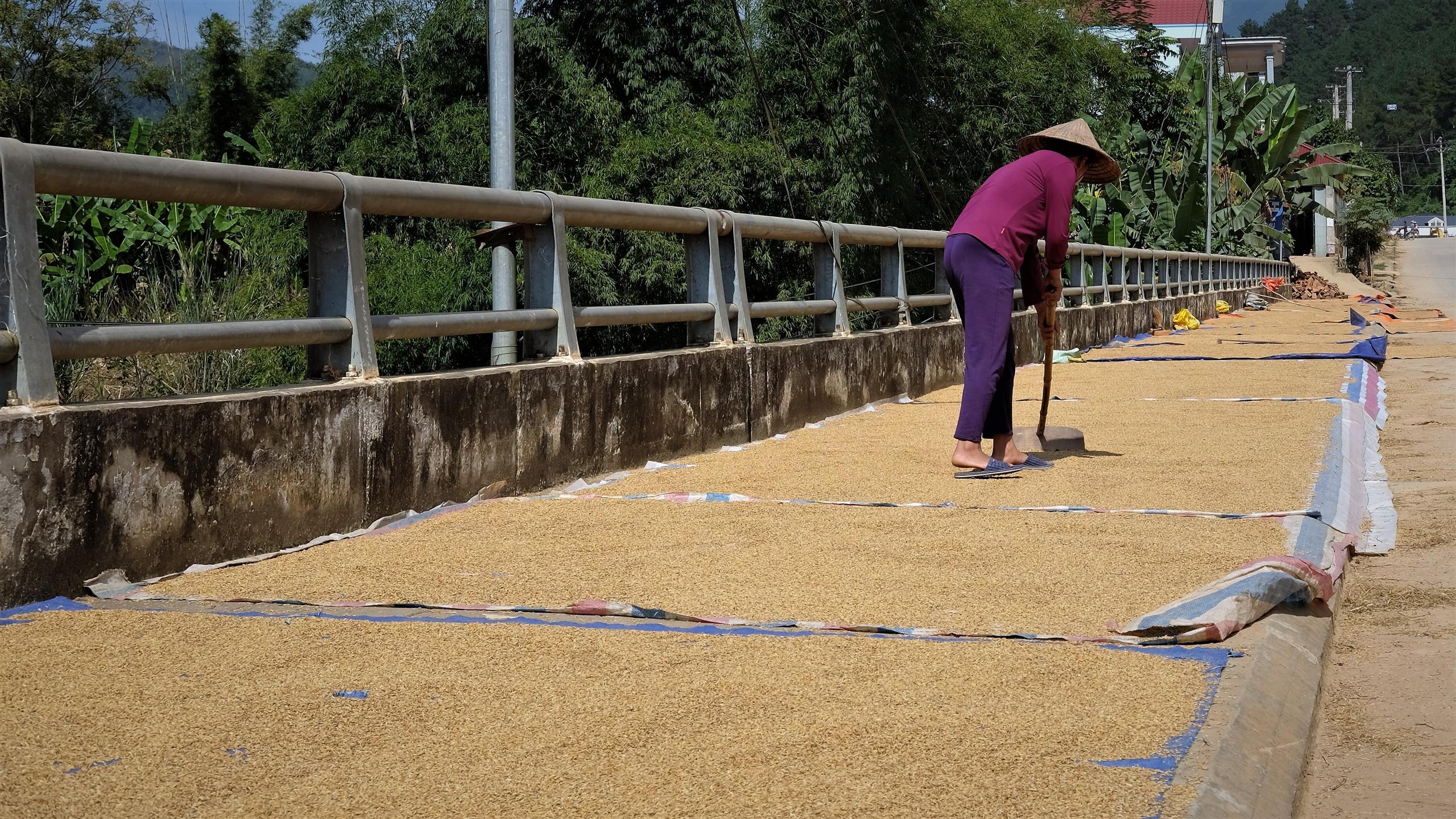 Après la récolte le riz est mis à sécher.