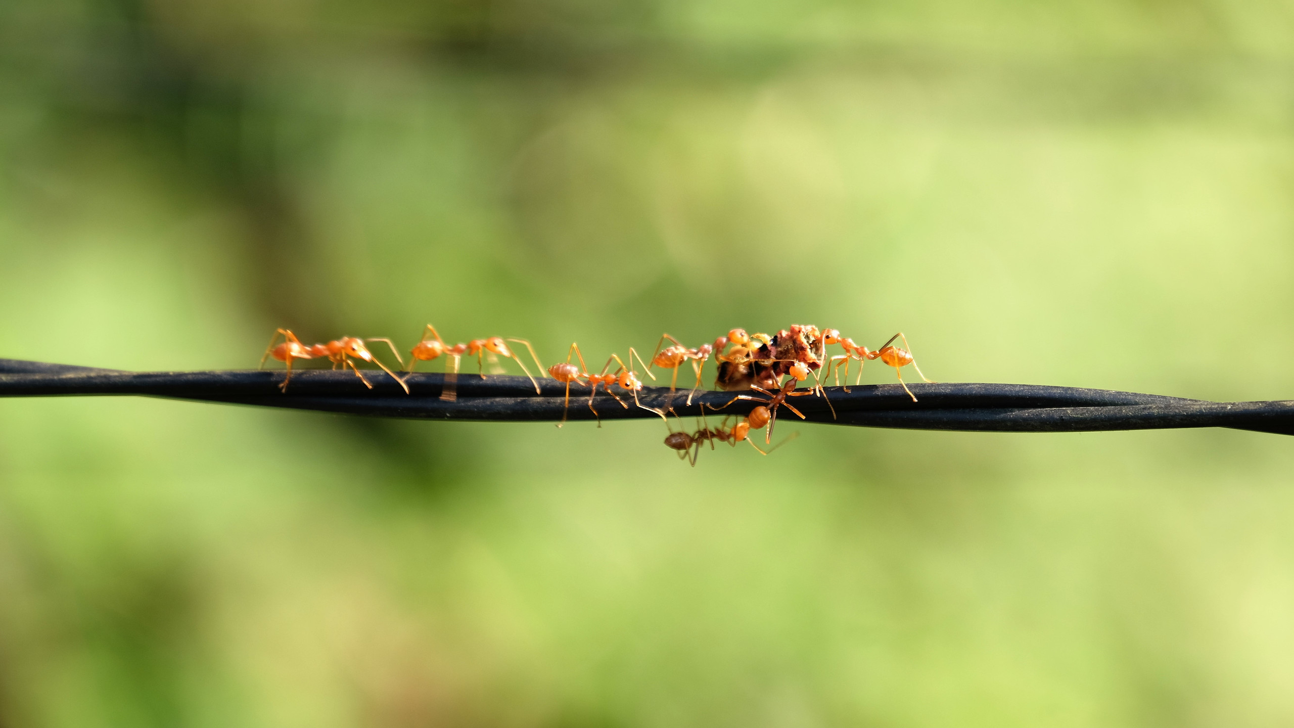 festin de fourmi