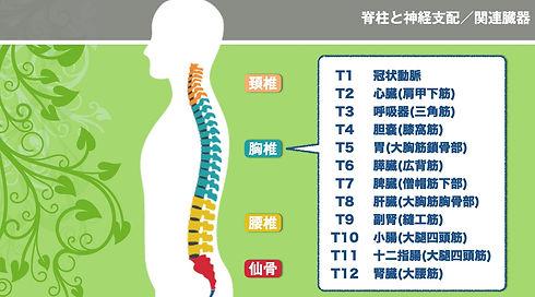 関連臓器胸椎コピー.jpg