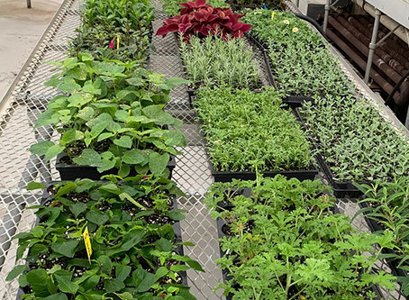Growing native plants in our greenhouses