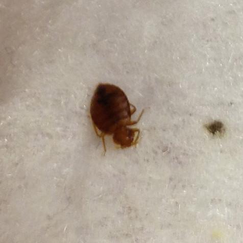 Bedbugs in Toronto !!