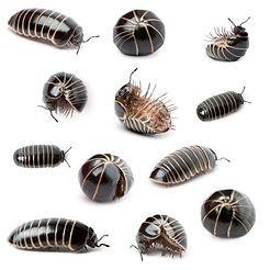 shutterstock sow bugs.jpg