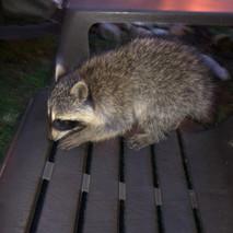 Racoons in Etobicoke aren't shy!
