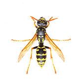 shutterstock paper wasp.jpg