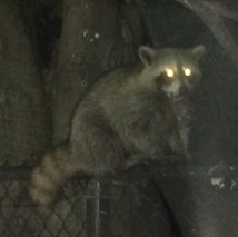 Wildlife roaming the GTA !!